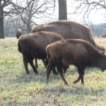 Bison at Woolaroc